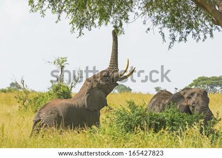 Elephant getting food from a tree in Murchison Falls National park in Uganda