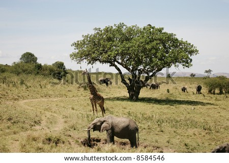 Elephant, Giraffe, and Sausage Tree Landscape - stock photo