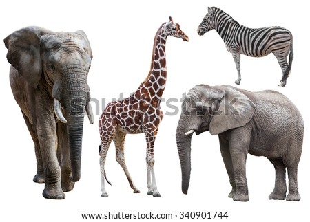 elephant ,giraffe and  zebra isolated on white.  african animals