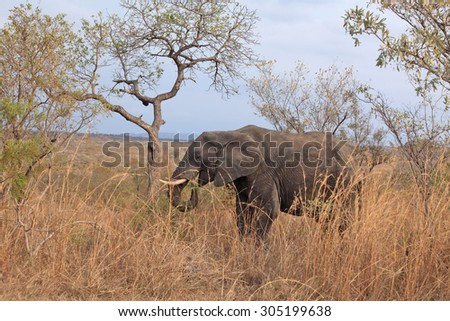 Elephant grazing in early morning in Kruger National Park - stock photo
