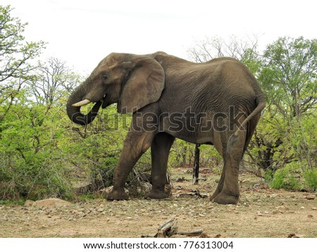 Elephant grazing in the grass.