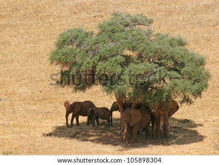 elephant group-looking shade under a tree, Tsavo East Kenya