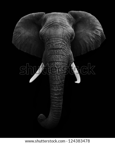 Elephant Head isolated - stock photo