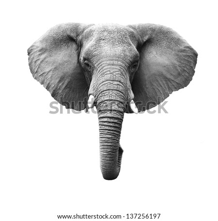 Elephant Stock Images Royalty Free Images amp Vectors Shutterstock