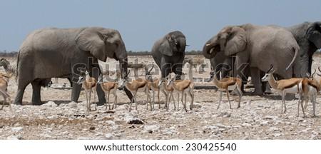 Elephant herd and Springbok, Etosha National Park, Namibia - stock photo