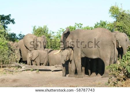 Elephant_Herd_Chobe_7 - stock photo