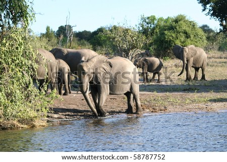 Elephant_Herd_Chobe_3 - stock photo