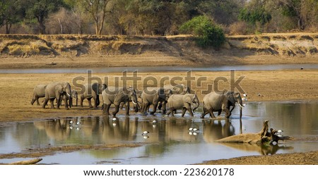 Elephant herd crossing Luangwa river in Zambia, in sepia - stock photo