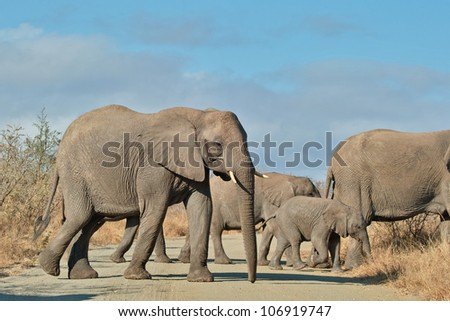 Elephant herd crossing, South Africa