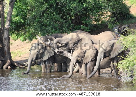 Elephant herd drinking at the river side - 2