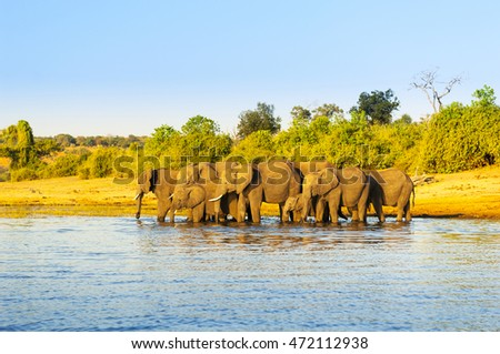Elephant herd in Africa at the Chobe River, Botswana