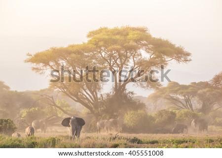 Elephant herd in Amboseli national park in Kenya., Africa. - stock photo