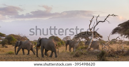 Elephant herd in Amboseli national park in Kenya. Mt. Kilimanjaro in Tanzania can be seen in background. Panoramic composition. - stock photo