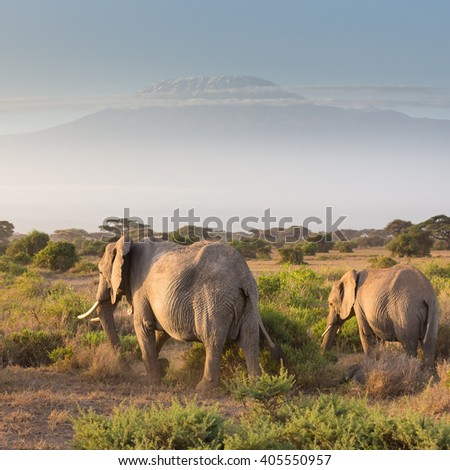 Elephant herd in Amboseli national park in Kenya. Mt. Kilimanjaro in Tanzania can be seen in background.