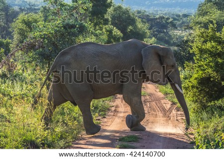 Elephant herd  in the wild at  the Welgevonden Game Reserve in South Africa - stock photo