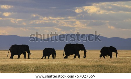 Elephant herd silhouetted against golden grassland - stock photo