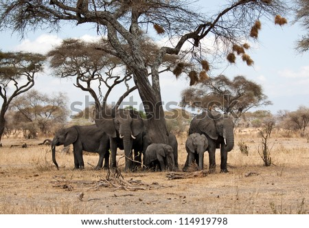 Elephant herd under an african acacia tree full of bird nests - stock photo