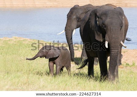Elephant herd walking over grass after drinking water on a hot day - stock photo