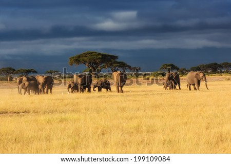 Elephant herd with a lot of young ones early in the morning in Amboseli National Park, Kenya - stock photo