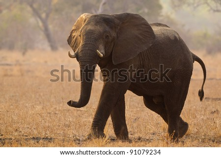 Elephant in a threatening pose - stock photo