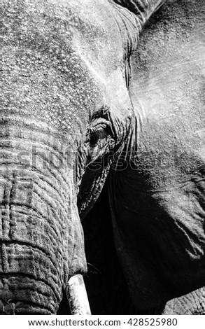 Elephant in Amboseli National park of Kenya, Africa - stock photo