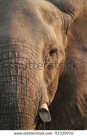 Elephant in Chobe National Park - stock photo