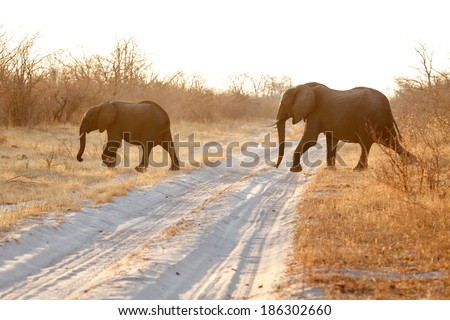 Elephant in Chobe National Park, Botswana, Africa - stock photo