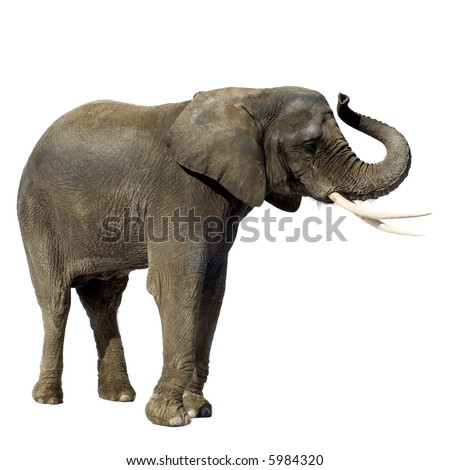 Elephant in front of a white background