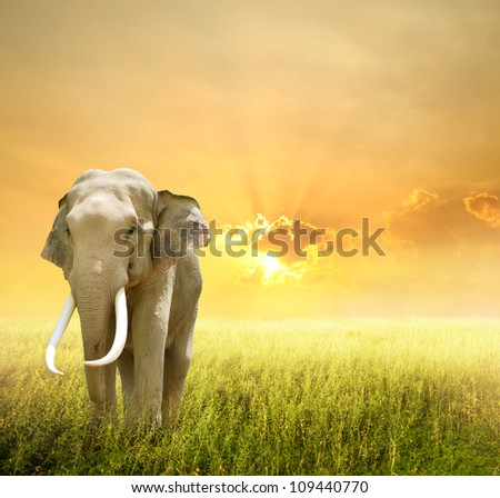Elephant in green field and sunset - stock photo