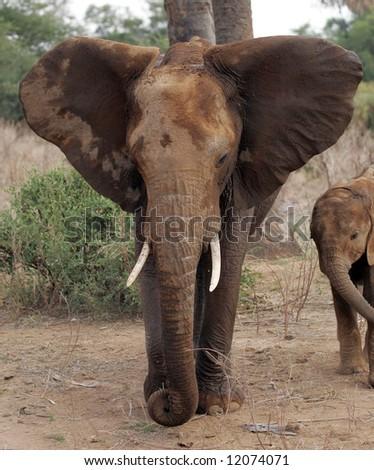 Elephant in Kenya - stock photo
