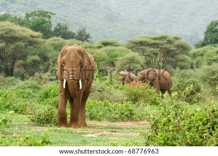 Elephant in Lake Manyara National Park - stock photo