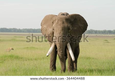 Elephant in Masai Mara, Kenya - stock photo