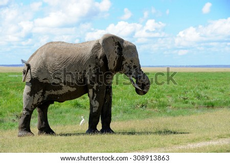 Elephant in National Park of Kenya, East African