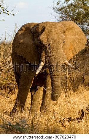 elephant in nature - stock photo