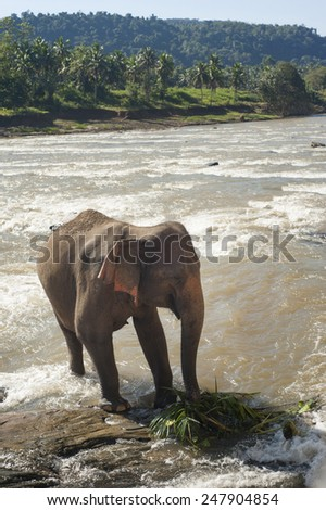 Elephant in park Pinawella. Sri Lanka - stock photo
