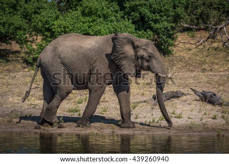 Elephant in profile walking along sunny riverbank