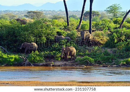 Elephant in savannah in their natural habitat - stock photo