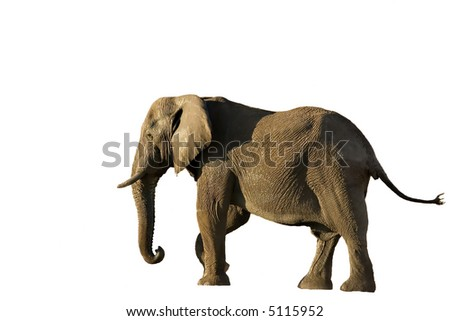 Elephant in Savute isolated on white (Chobe Game Reserve Botswana) - stock photo