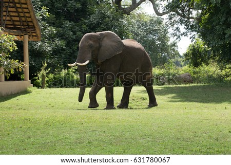 Elephant  in South Luangwa National Park located in Zambia, Africa