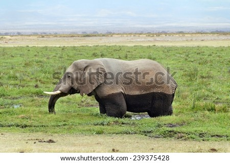 Elephant in swamp in Amboseli National Park, Kenya - stock photo