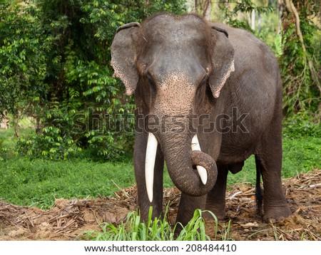 Elephant in Thailand - stock photo