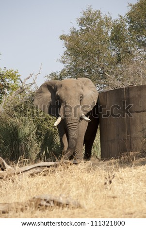 Elephant in the daylight - stock photo