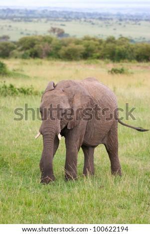 Elephant in the grass, Masai Mara, Kenya - stock photo