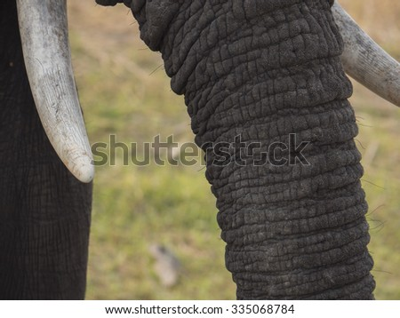 elephant in the Liwonde Malawi park   - stock photo