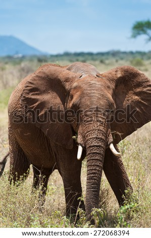 elephant in the savanna of Africa