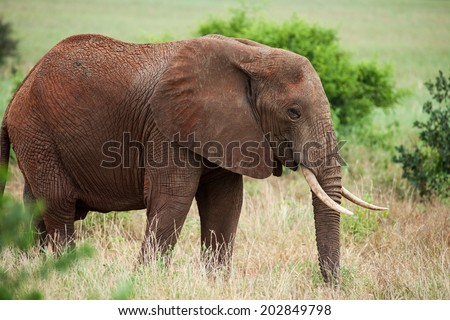 elephant in the savannah of africa