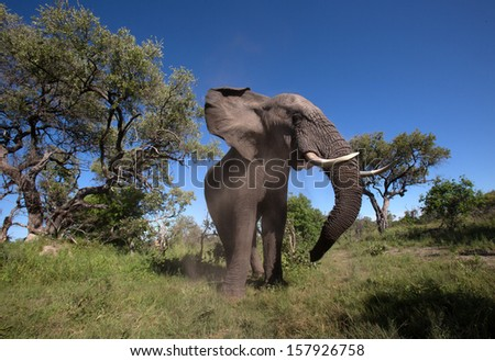 Elephant in the wild. - stock photo
