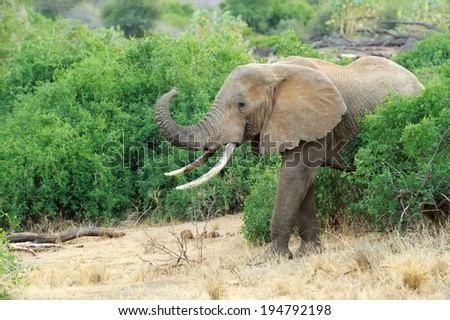 Elephant in the wild - national park Kenya, Africa - stock photo