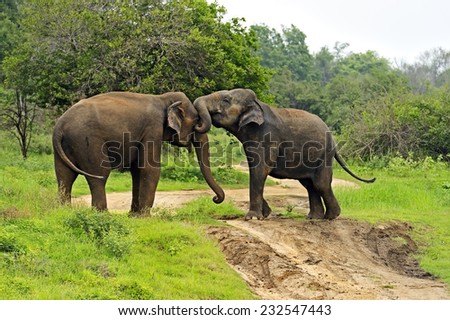 Elephant in the wild on the island of Sri Lanka