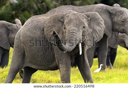 Elephant in their natural habitat in the African savannah